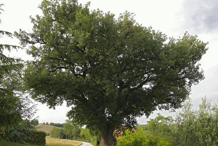 "The ""Cerquatonda"" – an oak 600 years old"